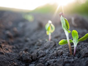 Seedlings grow out of the soil